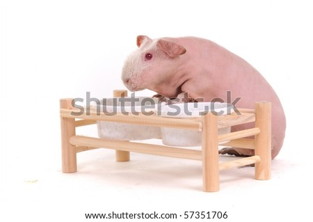 Funny Skinny Rodent Standing at Food Bowl Support - stock photo