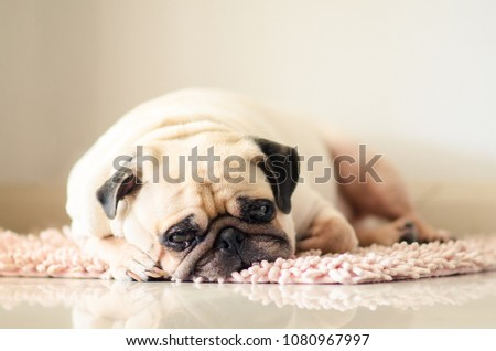 Funny Sleepy Fat Pug Dog with gum in the eye sleep rest on mat floor