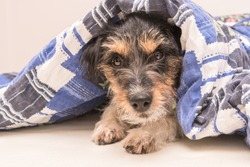 Funny small Jack Russell Terrier dog  is lying and sleeping in a bed