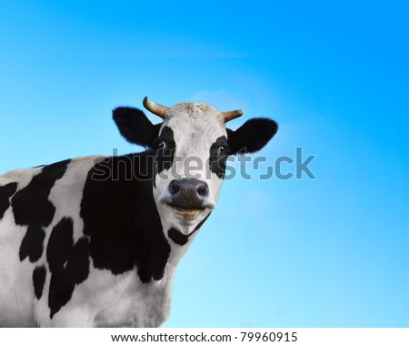 Funny smiling black and white cow on blue clear background