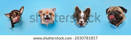 Funny smiling dogs on trendy blue background. Lovely puppy of pomeranian spitz, chihuahua and pug climbs out of hole in colored background. Free space for text. Stock foto ©