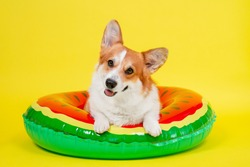 Funny smiling welsh corgi pembroke or cardigan dog lies in an inflated life buoy for swimming on yellow background, front view, copy space for juicy advertising text