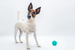 Funny smooth fox terrier with tilted head next to a toy ball, studio backdrop. Playing with pets, active playful dog concept, isolated white background