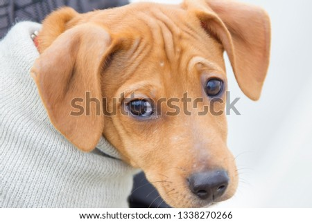 Funny snout red dog with black eyes