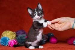 funny sphinx bambino kitten. cat. short legs.  standing on its hind legs.