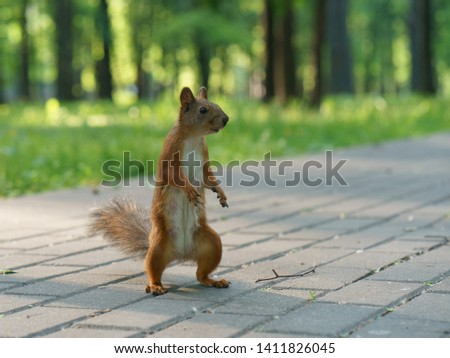 Funny squirrel on the road in park at a sunny day. A squirrel looks like monster. The squirrel stood on its hind legs. Bottom angle. She wants to fight in hand-to-hand combat. High resolution photo.