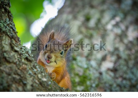 Funny Squirrel showing Tongue #562316596
