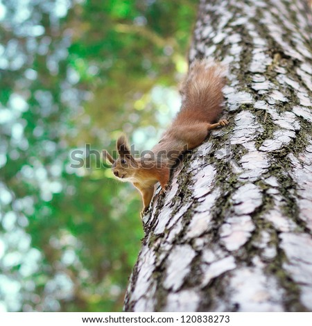 Funny squirrel sitting on a pine tree