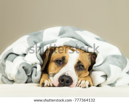 Funny staffordshire terrier puppy lying covered in throw blanket and falling asleep. Close up image of tired or sick pitbull dog sleeping or resting under covers in bed in comfortable indoor bedroom