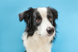Funny studio portrait of cute smilling puppy dog border collie isolated on blue background. New lovely member of family little dog gazing and waiting for reward. Pet care and animals concept.