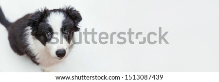Funny studio portrait of cute smilling puppy dog border collie isolated on white background. New lovely member of family little dog gazing and waiting for reward. Pet care and animals concept. Banner ストックフォト ©