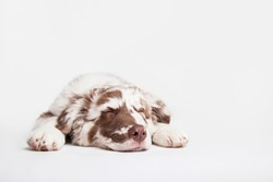 Funny studio portrait of the puppy dog Australian Shepherd lying and sleeping on the white background