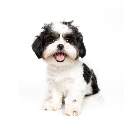 Funny studio portrait of the puppy dog (shih tzu) on the white background, Sized for web or social media
