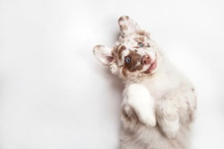Funny studio portrait of the smilling puppy dog Australian Shepherd lying on the white background, giving a paw and begging