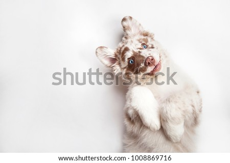 Photo of  Funny studio portrait of the smilling puppy dog Australian Shepherd lying on the white background, giving a paw and begging