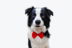 Funny studio portrait puppy dog border collie in bow tie as gentleman or groom isolated on white background. New lovely member of family little dog looking at camera. Funny pets animals life concept