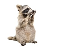 Funny surprised raccoon isolated on a white background