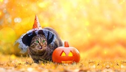 Funny tabby cat with green eyes in wizard hat sits on ground covered with colourful leaves near orange glowing yellow pumpkin against backdrop of magical autumn forest.  Halloween celebration concept