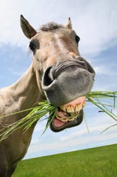 funny tan horse close-up with mouth full of grass and a silly expression on it's face