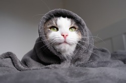 Funny tricolor cat under a gray blanket in a modern bedroom. In cold weather, the pet warms up under a blanket. Pet friendly and grooming concept.