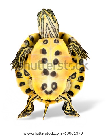 Funny turtle on his back legs dancing or walking
