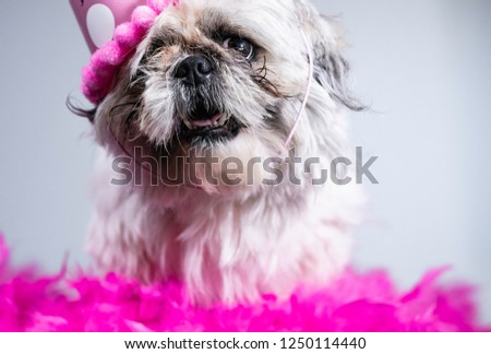 Funny, ugly looking dog wearing birthday hat and sitting on a bed of pink flowers