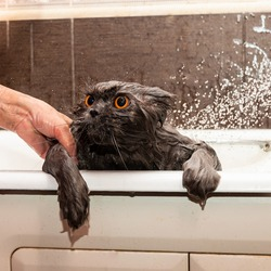 Funny wet british cat with bright orange eyes takes a shower. Pet Hygiene Concept. Wet, angry cat.