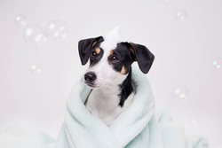 Funny wet puppy of Jack Russell Terrier after bath wrapped in towel with big eyes. Just washed cute dog with soap foam on his head on gray background.