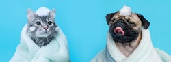 Funny wet puppy of the pug breed and fluffy cat after bath wrapped in towel. Just washed cute dog and gray tabby kitten in bathrobe with soap foam on their heads on blue background.