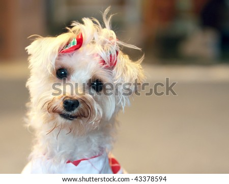 Funny white dog with quizzical expression wearing red bows in hair
