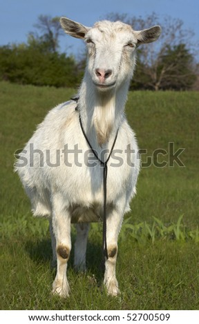 Funny white goat grazing at green  lawn