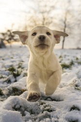 funny yellow puppy