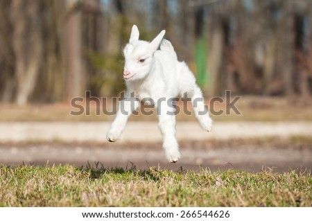 Funny young goatling jumps in the air  #266544626
