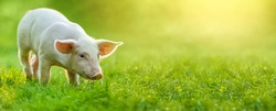 funny young pig is standing on the green grass. Happy piglet on the meadow. wide banner