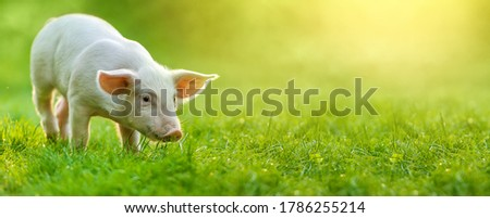 funny young pig is standing on the green grass. Happy piglet on the meadow. wide banner Stock photo ©