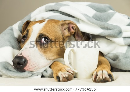 Funny young pitbull dog in bed covered in throw blanket with steaming cup of hot tea or coffee. Lazy staffordshire terrier puppy wrapped in plaid looks up and relaxes