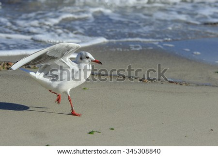 funny young seagull chick runs at the beach with raised wings