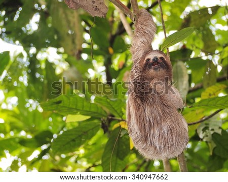 Funny young sloth hanging from a branch in the jungle of Central America, Panama