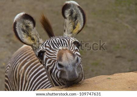Funny zebra portrait closeup #109747631