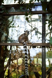 funnyring tailed lemur sitting in the park