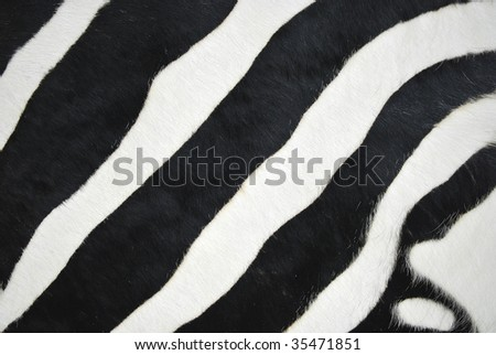 fur of a zebra with black and white lines