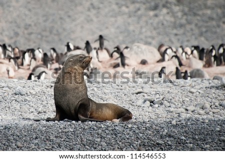 Fur seal in the beach of Antarctica