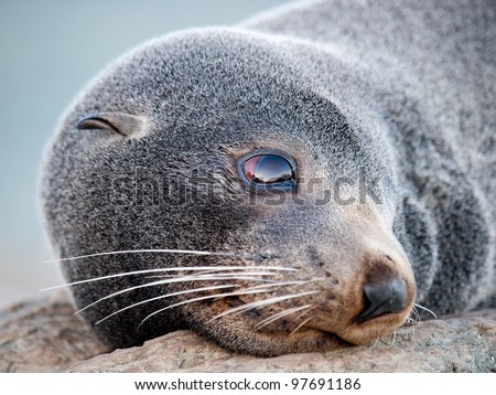 Fur seal New Zealand