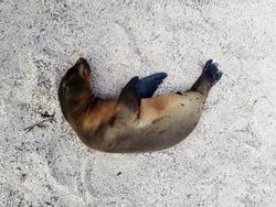 fur seal sleeping on white sand