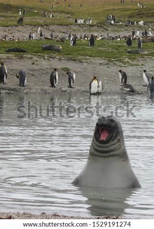 Fur seals and elephant seals in Antarctica