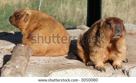 fur; teeth; rodent; tree; park; brown; grass; alertness - stock photo