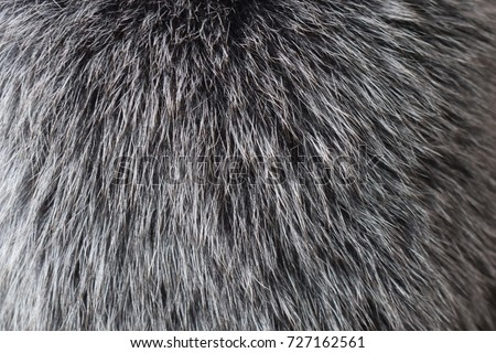Fur texture of fox, silver color close-up background. Silver fox fur coat texture background. Animal fur texture. Silver natural short hair animal close up.