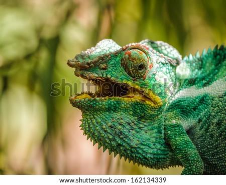 Furcifer, a genus of chameleons mostly endemic to Madagascar - Shutterstock ID 162134339