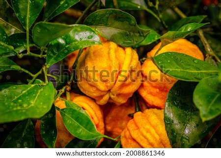 Furrowed bitter orange Citrus × aurantium 'Canaliculata' fruits with rain drops on tree  Orange citrus fruits grow on citrus garden. Citrus aurantium Canaliculata or bitter orange or bitter mandarin.