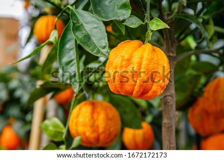 Furrowed bitter orange Citrus × aurantium 'Corrugato ' fruits on tree. Orange citrus fruits grow on citrus garden. Citrus aurantium Corrugato or bitter orange or bitter mandarin.